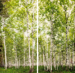 winwall birch forest 1 300x294 - Winwall