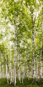 winwall birch forest 150x300 - Winwall